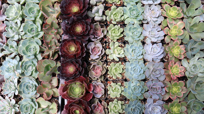 rows of succulents at carlmont village shopping center